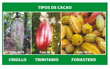 Criollo Cacao beans
